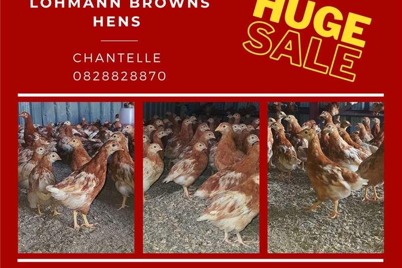 Chickens Lohmann Brown Hens Livestock
