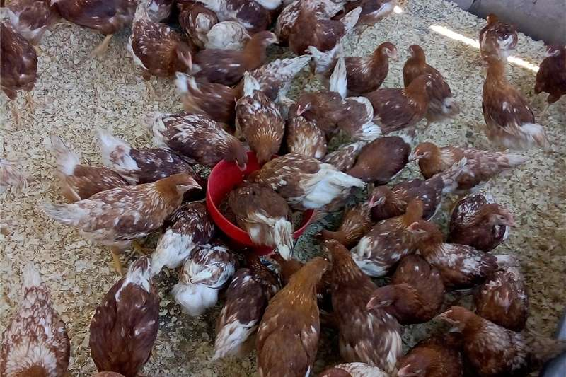Chickens lowman brown 17 weeks old fully vaccinated Livestock