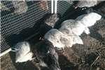 Chickens Ostrolop Livestock