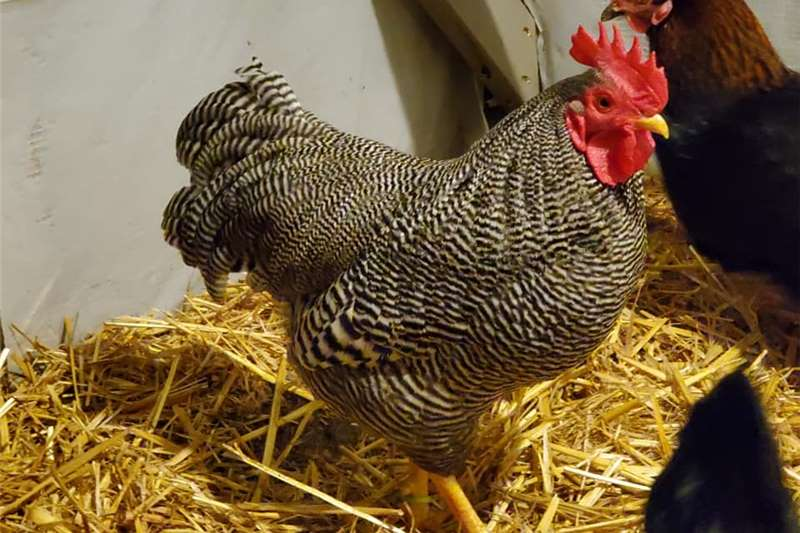 Chickens PlyMouth Rock Chickens for sale Livestock