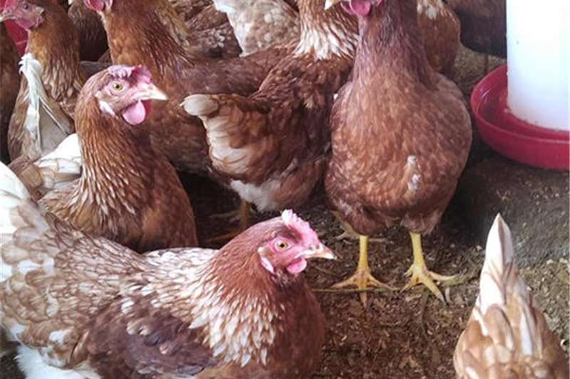 Chickens Point Of lay hens for sale Livestock