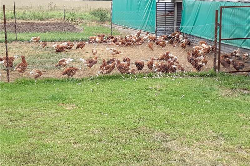 Chickens POINT OF LAY READY ON 10 FEB. VACCINATED. LOHMANN Livestock