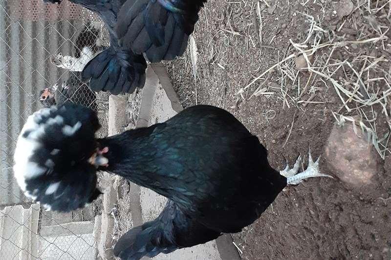 Chickens Polish crested  bantams Livestock
