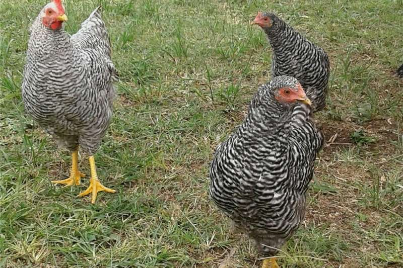 Livestock Chickens Potch Koekoek x Black Australorp Cocks