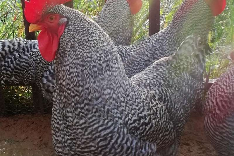 Chickens Potch Koekoeks for sale Livestock