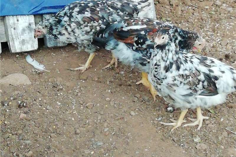 Chickens Pretoria Boschvelders 1 rooster 4 hens Livestock