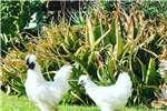 Chickens Pure white Silkie chickens Livestock