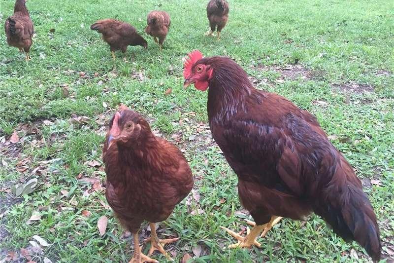Chickens Rhode Island Reds Livestock