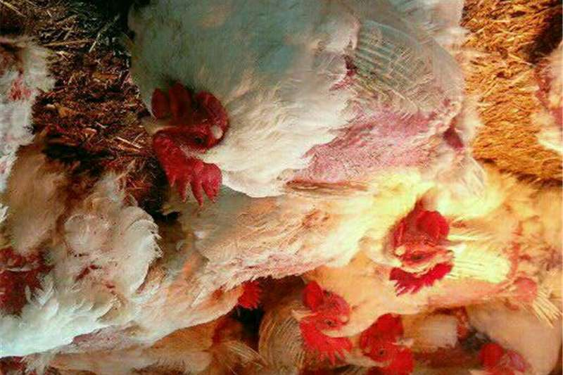 Livestock Chickens Rocks Chickens @ R73 Stock Price. Hens & Roosters