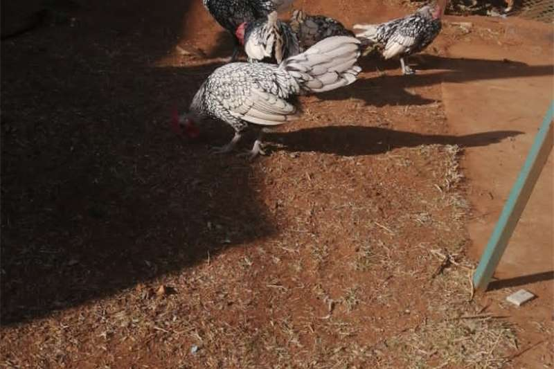 Chickens Seabright Bantams for Sale Livestock