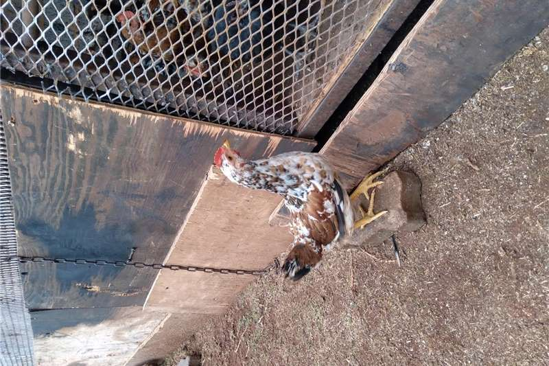 Chickens Selling Boschvelder chickens 2 8wks old. All chick Livestock