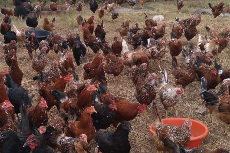 Chickens Selling free range chickens Livestock