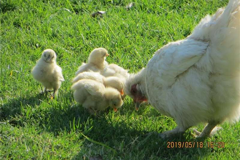 Chickens Silkie chickens on sale. I am overstocked and nee Livestock