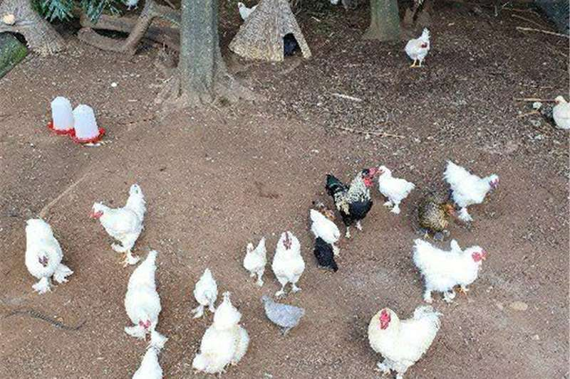 Chickens Silky chicken mixes of varying ages for sale. Livestock