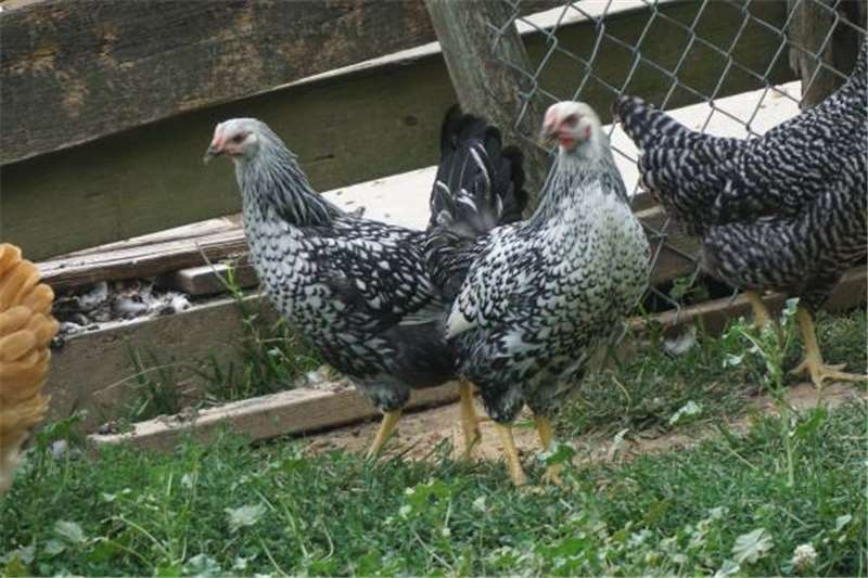 Chickens Silver Laced Wyandotte Chickens pullets Livestock