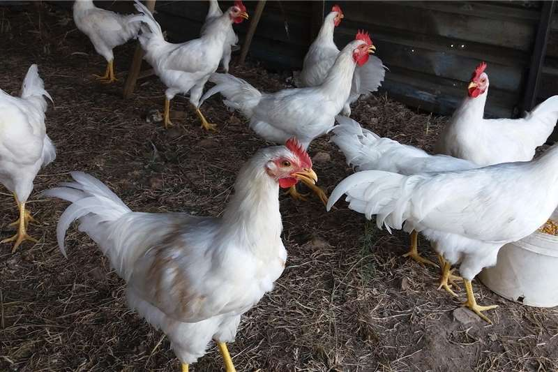 Chickens White leghorn roosters Livestock