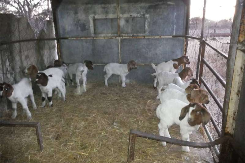 Livestock Goats Boer goat for sale