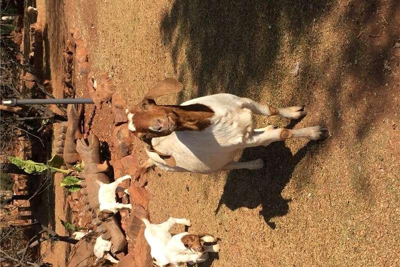 Livestock Goats Boer Goat Ram for sale