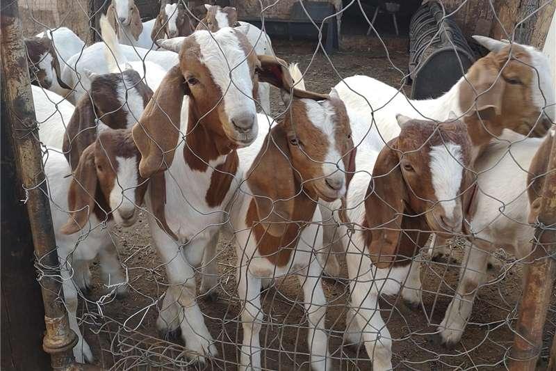Livestock Goats Boer goat rams