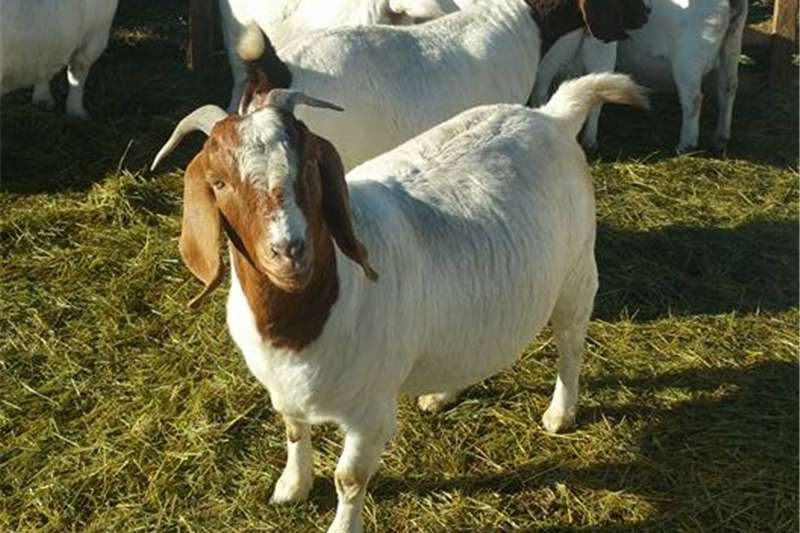 Livestock Goats Boer goats and Kalahari reds for sale