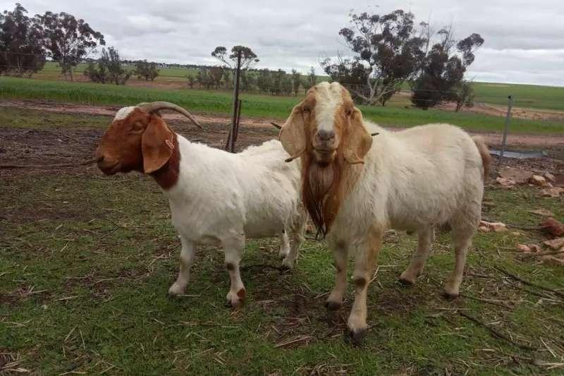 Livestock Goats Boer Goats