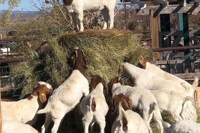 Goats Boer Goats, Nubian Angora Goats, Sheep and Cows Livestock