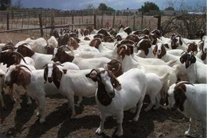 Livestock Goats Boer Goats & Sheeps available for sale!!