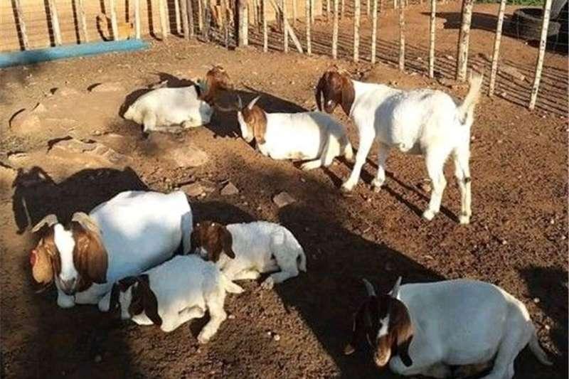 Goats Boerbok for special Livestock
