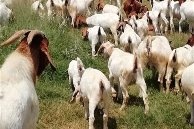 Goats Boeregoats for sale Livestock