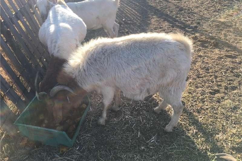 Livestock Goats Boergoat ram for sale