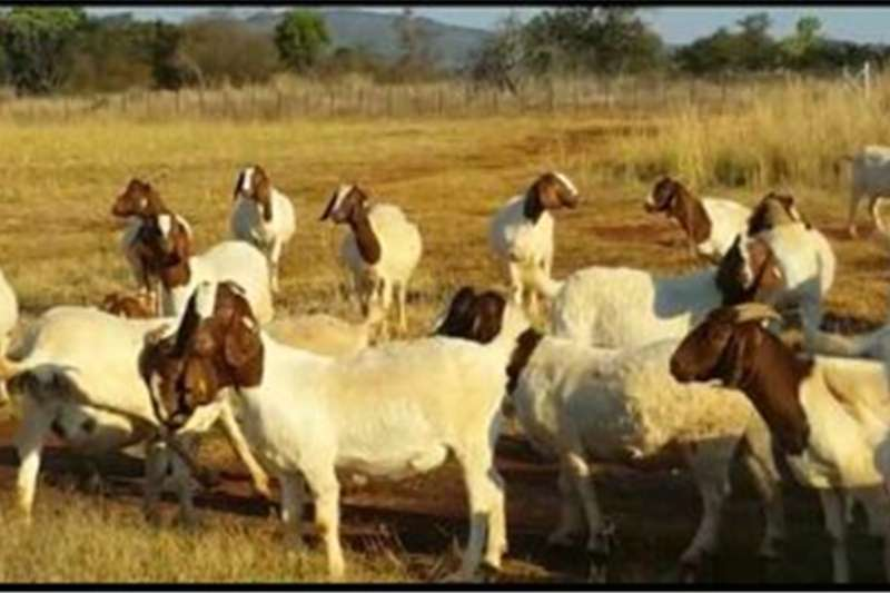Livestock Goats Boergoats for Sale