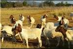 Goats Boergoats for Sale Livestock