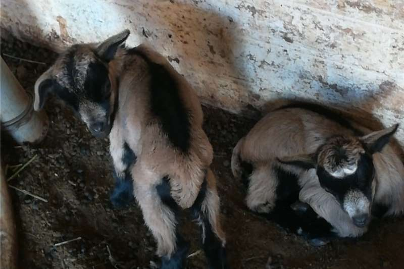 Livestock Goats cameroon dwarf goats