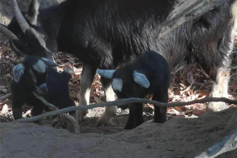 Livestock Goats Dwarf Goat kids 2019