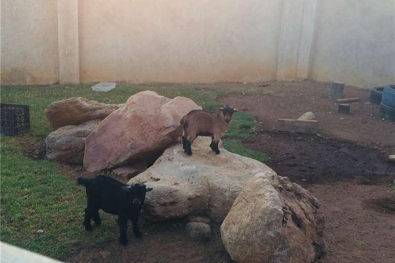 Livestock Goats Dwarf goats