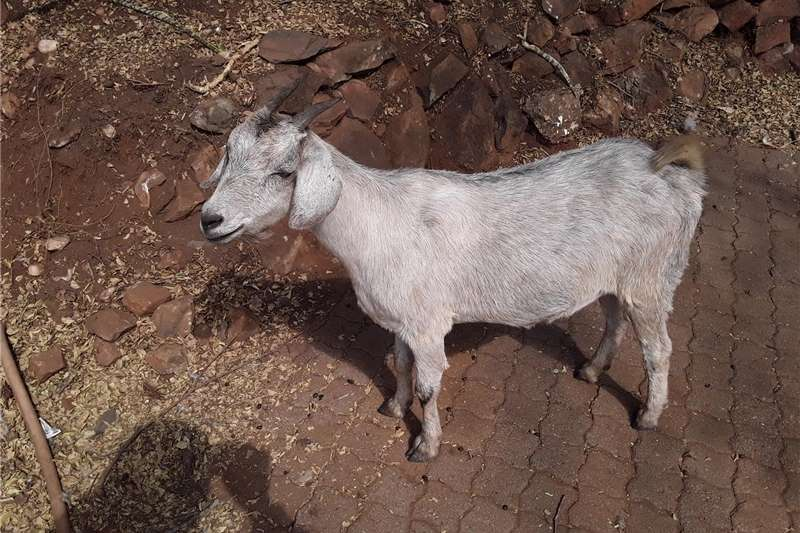 Livestock Goats Goats for sale