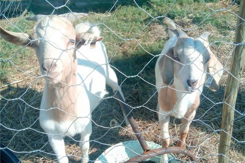 Goats Goats (Rams) Livestock