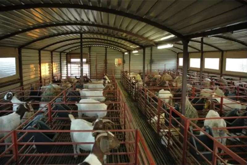Livestock Goats Healthy Mature Boer Goats For Sale
