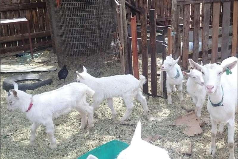 Goats Melkbok (Saanen) rammetjies te koop Livestock