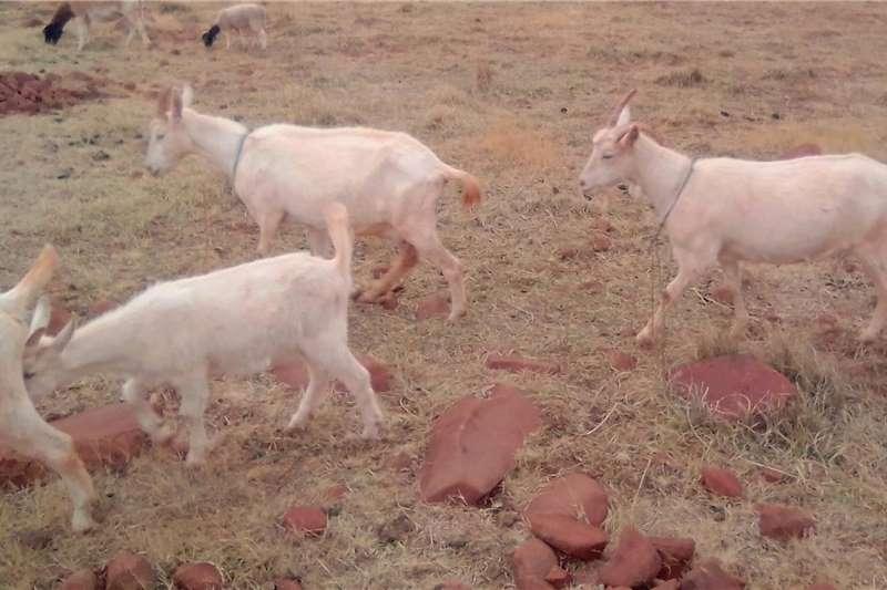 Goats Milk goats for sale Livestock