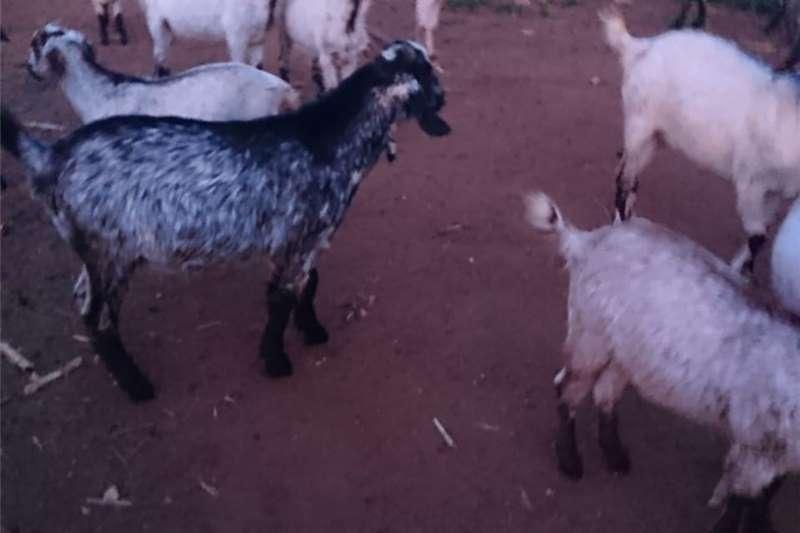 Livestock Goats Skilder Goat rams