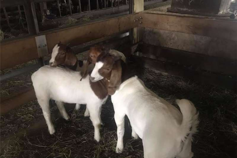 Goats Stock of Boer and Kalahari goats for sale. Livestock