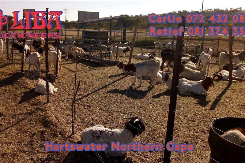Livestock Goats Two auctions every week Hartswater Northern Cape 2000
