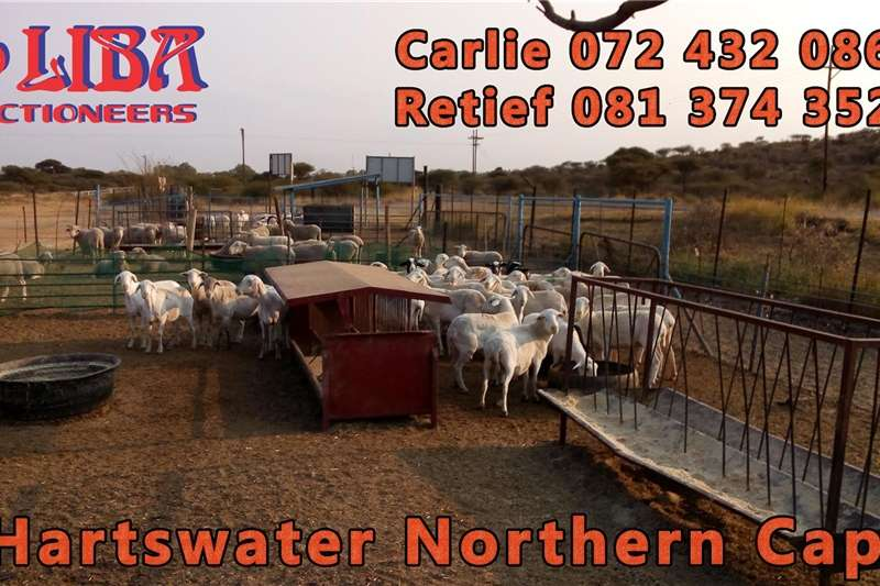 Goats Two auctions every week Hartswater Northern Cape Livestock
