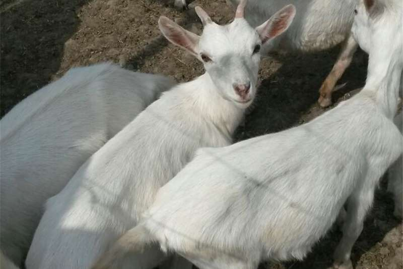 Goats White Male Goat for Sale Livestock