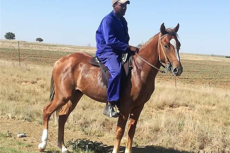 Livestock Horses Lovely horse for sale