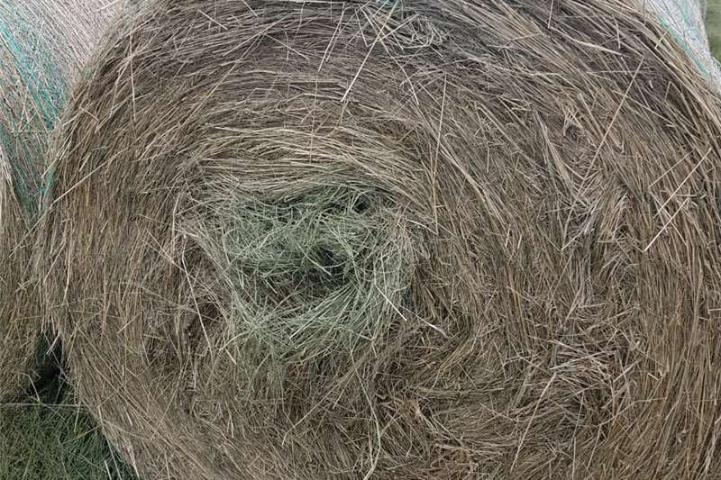 Livestock feed Eragrostis Livestock