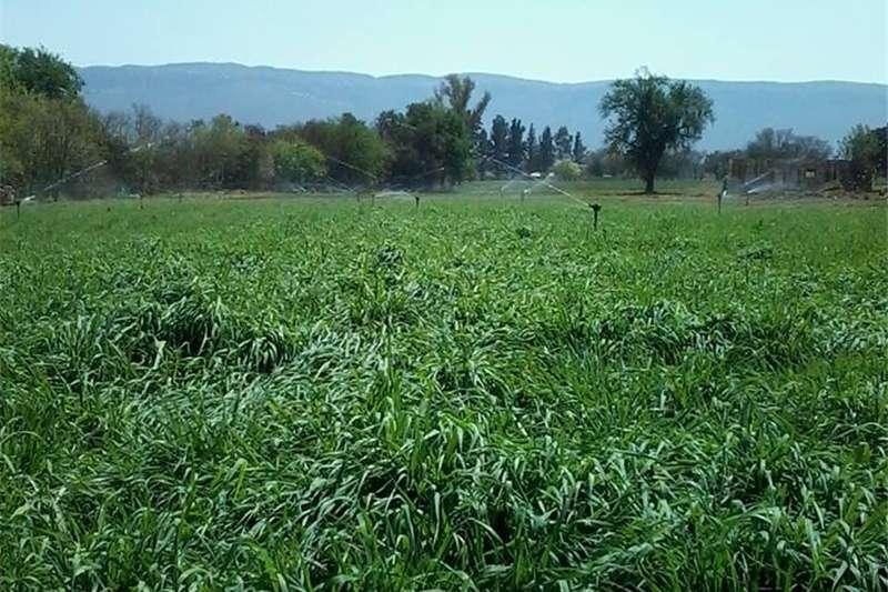 Livestock Livestock feed Plant nou Russiesegras (Phalaris SP) immergroen we