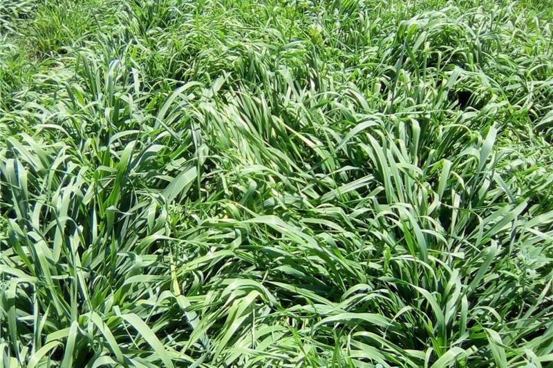 Livestock Livestock feed Plant nou Russiesegras (Phalaris SP) weidingsgras