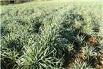 Livestock feed Russiesegras polle SPESIALE AANBOD geldig tot eind Livestock